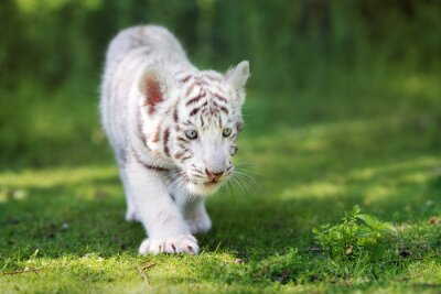 Wall mural adorable white tiger cub walking on grass