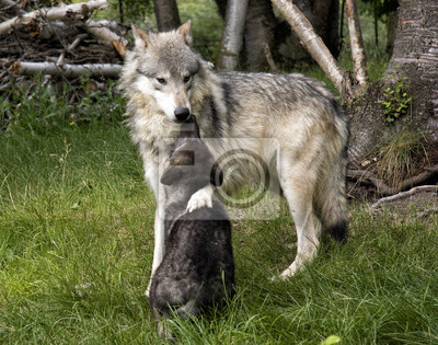Wall mural Affectionate mom wolf and pup