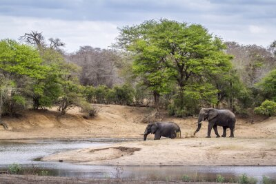 Wall mural African bush elephant in Kruger National park
