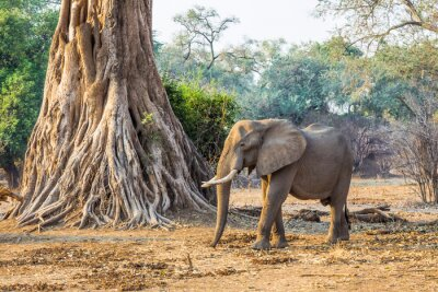 Wall mural African Elephant (Loxodonta), walking past a large tree