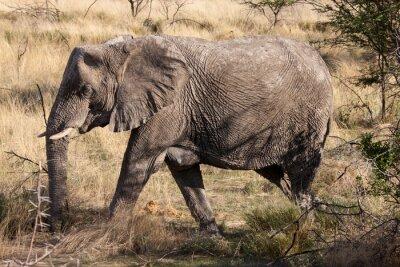 Wall mural African Elephant Walking through Etosha National Park, Namibia