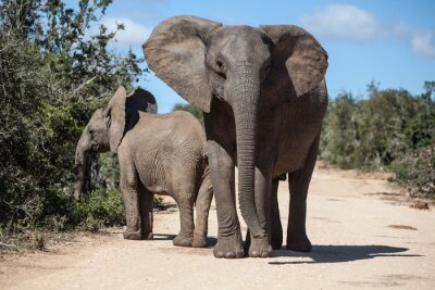 Wall mural African Elephants in South African Park