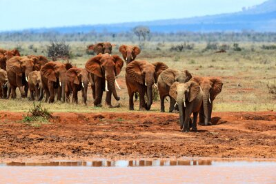 Wall mural African elephants in the savannah
