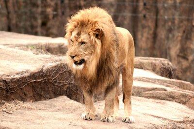 Wall mural African lion