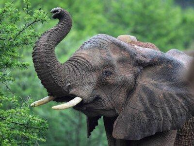 Wall mural Afrikanischer Elefant (Loxodonta africana)
