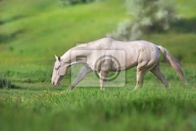Akhal teke horse run on green spring field