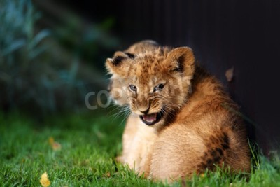 Wall mural Alert small lion cub with brown fur in outdoore