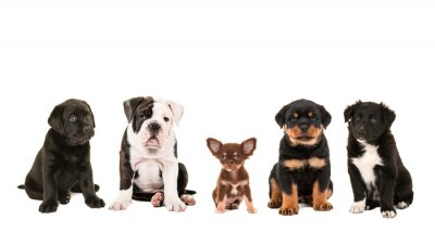 Wall mural All kind of cute different breed of puppy dogs isolated on a white background, as a chihuahua, rottweiler, border collie, labrador and an english bulldog