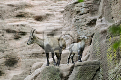 Alpine ibex, goat with young