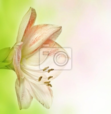 Wall mural amaryllis lilia on bokeh background