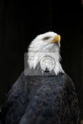 American Bald Eagle Portrait against a Black Background