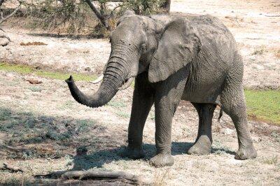 Wall mural An elephant in the savannah - Tanzania - Africa