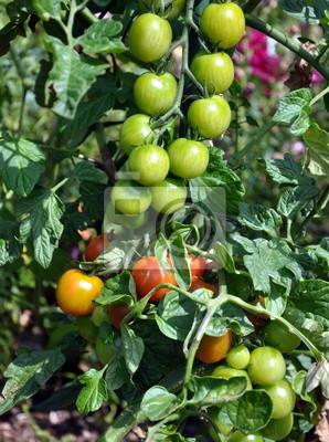 Aout...saison des tomates