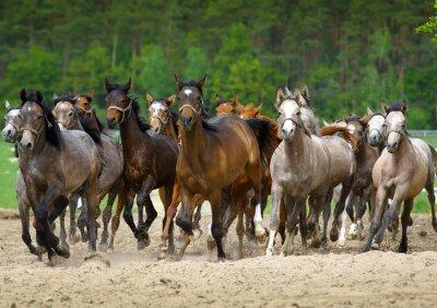 Wall mural Arabian horses gallop