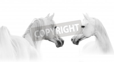 Wall mural arabian white horse