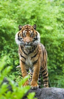 Wall mural Asian- or bengal tiger standing with bamboo bushes in background
