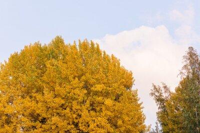Aspen tree foliage in autumn colors