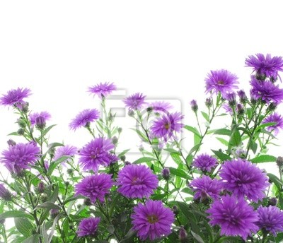 Wall mural asters