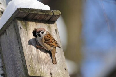 Wall mural At winter finishing Tree Sparrow investigates possible nest faci