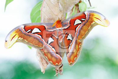 Wall mural Atlas moth (Attacus atlas) / A new adult Atlas moth emerge from the cocoon. Atlas moth (Attacus atlas) is the world largest moths found in the tropical and subtropical forests of Southeast Asia