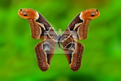 attacus atlas moth specimen in the cabinets
