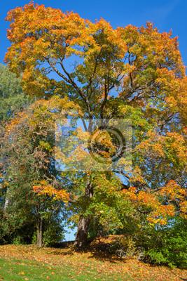 Autumn color maple foliage and blue sky