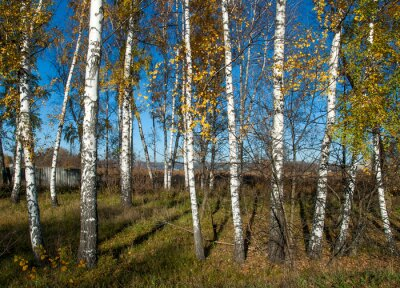 Wall mural autumn landscape with birches