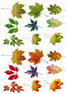 autumn leaves isolated on white - collection