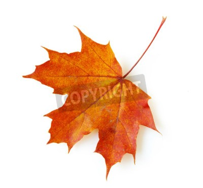 Wall mural autumn maple leaf isolated on white background