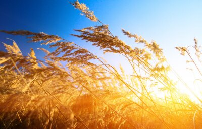autumn yellow grass and sunset