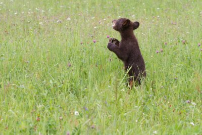 Wall mural Baby Black Bear in Wildflower Meadow
