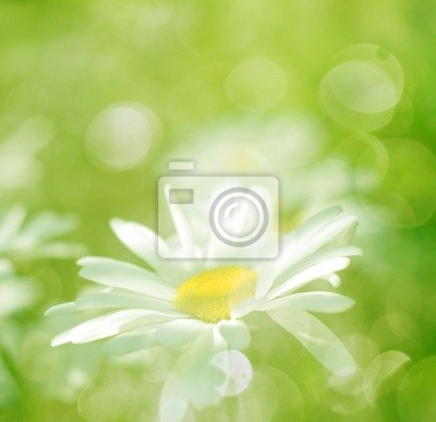 background - spring flowers daisy and grass with sunlight