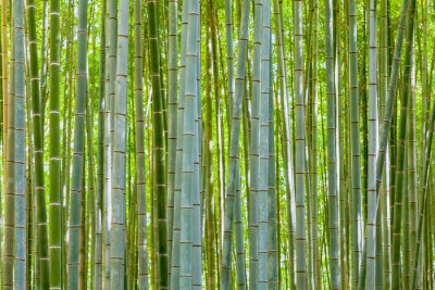 Wall mural bamboo background in nature at day