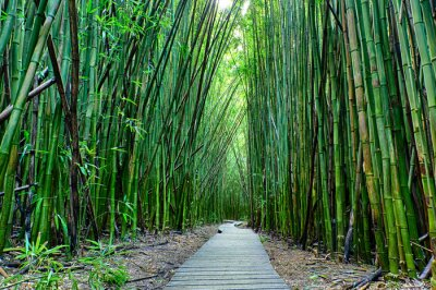 Wall mural Bamboo forrest