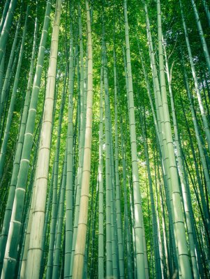 Wall mural Bamboo path