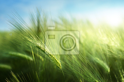 barley field in sunset time