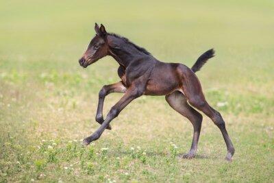 Bay foal run gallop on meadow