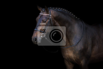 Bay horse in bridle portrait on black background