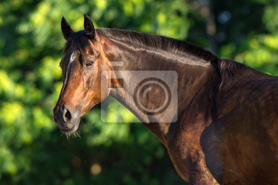 Bay horse portrait outdoor against green trees