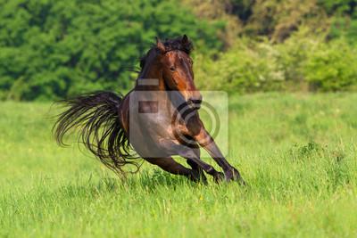 Bay horse run fast on spring field