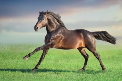 Bay horse run gallop on spring green meadow