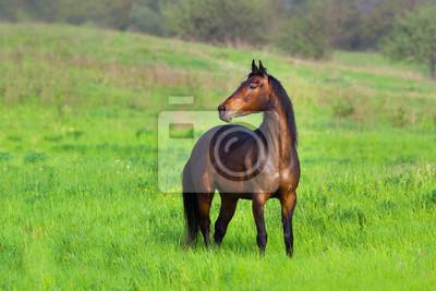 Bay horse run in motion outdoor