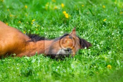 Bay horse sleep on spring green grass