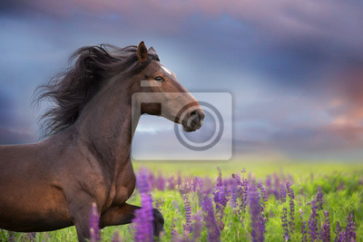 Bay  horse with long mane in lupine flowers run fast
