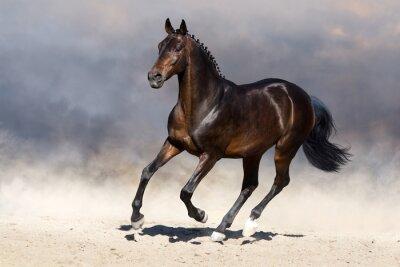 Bay stallion run gallop in dust