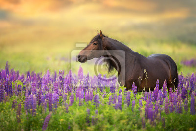 Bay stallion with long mane in lupine flowers at sunset