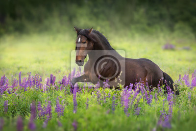 Bay stallion with long mane in lupine flowers trotting free