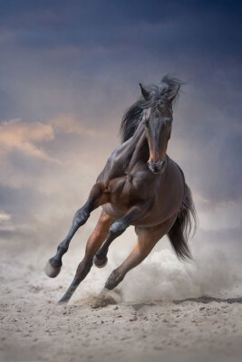 Bay stallion with long mane run gallop