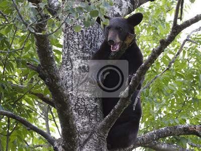 Bear Cub Crying in Tree