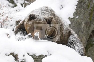 Bear in Snow